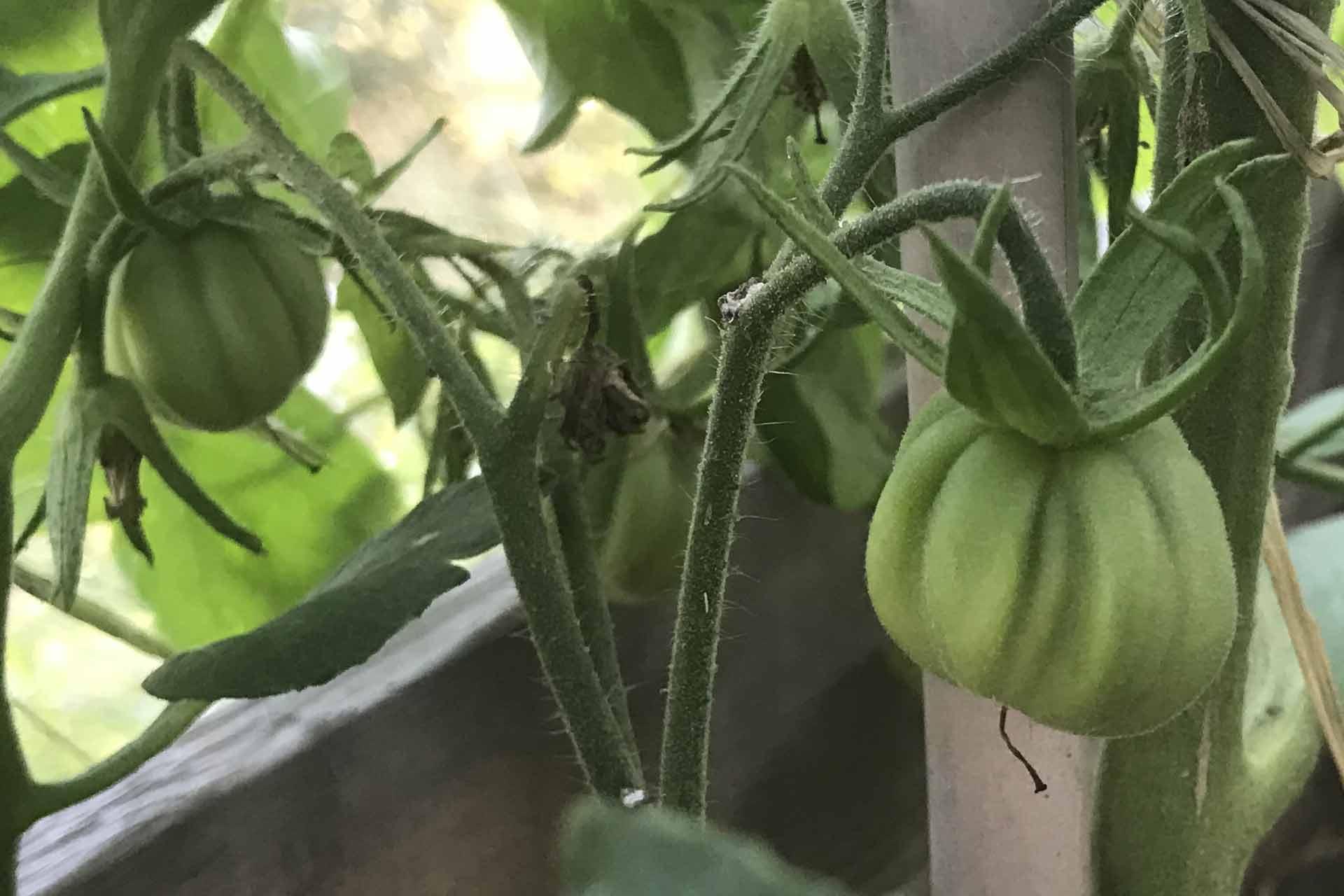 mélange epice salade tomate ete